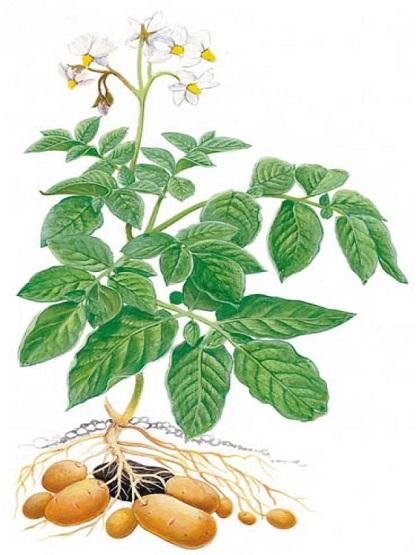 Planta de la patata dibujada