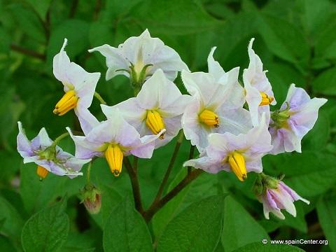 flores de la patata